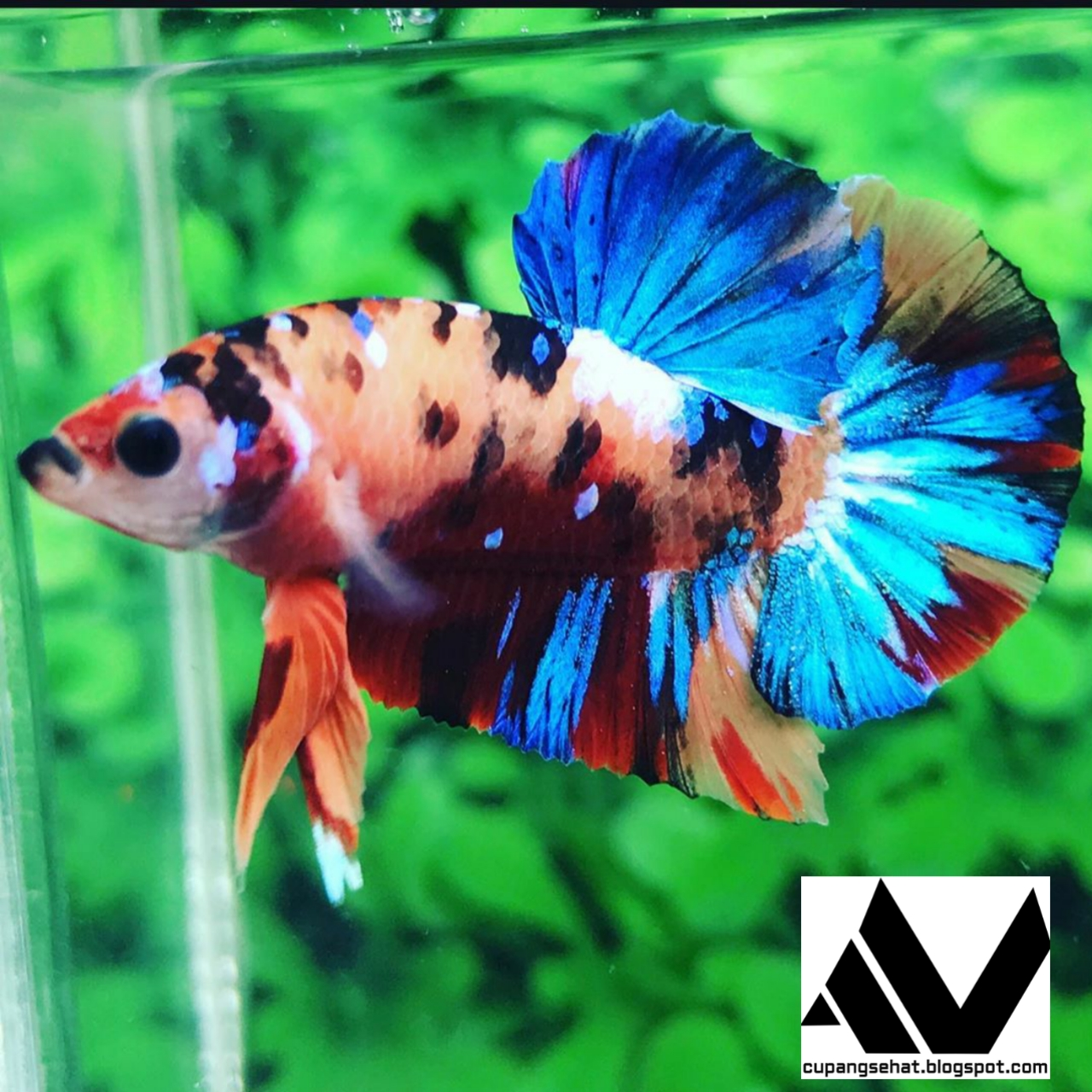 Jual Ikan Cupang Hias Kualitas Bagus - Cupang Sehat