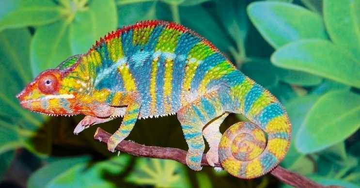 Bukalemunlar derilerinin rengini ve renklerinin tonunu istedikleri gibi değiştirebilirler.