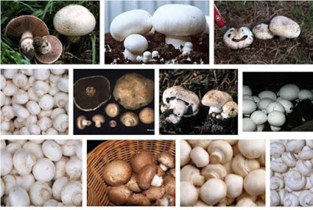 Sebutkan peranan jamur berikut ini dalam kehidupan sehari ...
