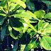 Cara Menanam Pohon Ketapang Kencana Dari Biji Dan Cangkok