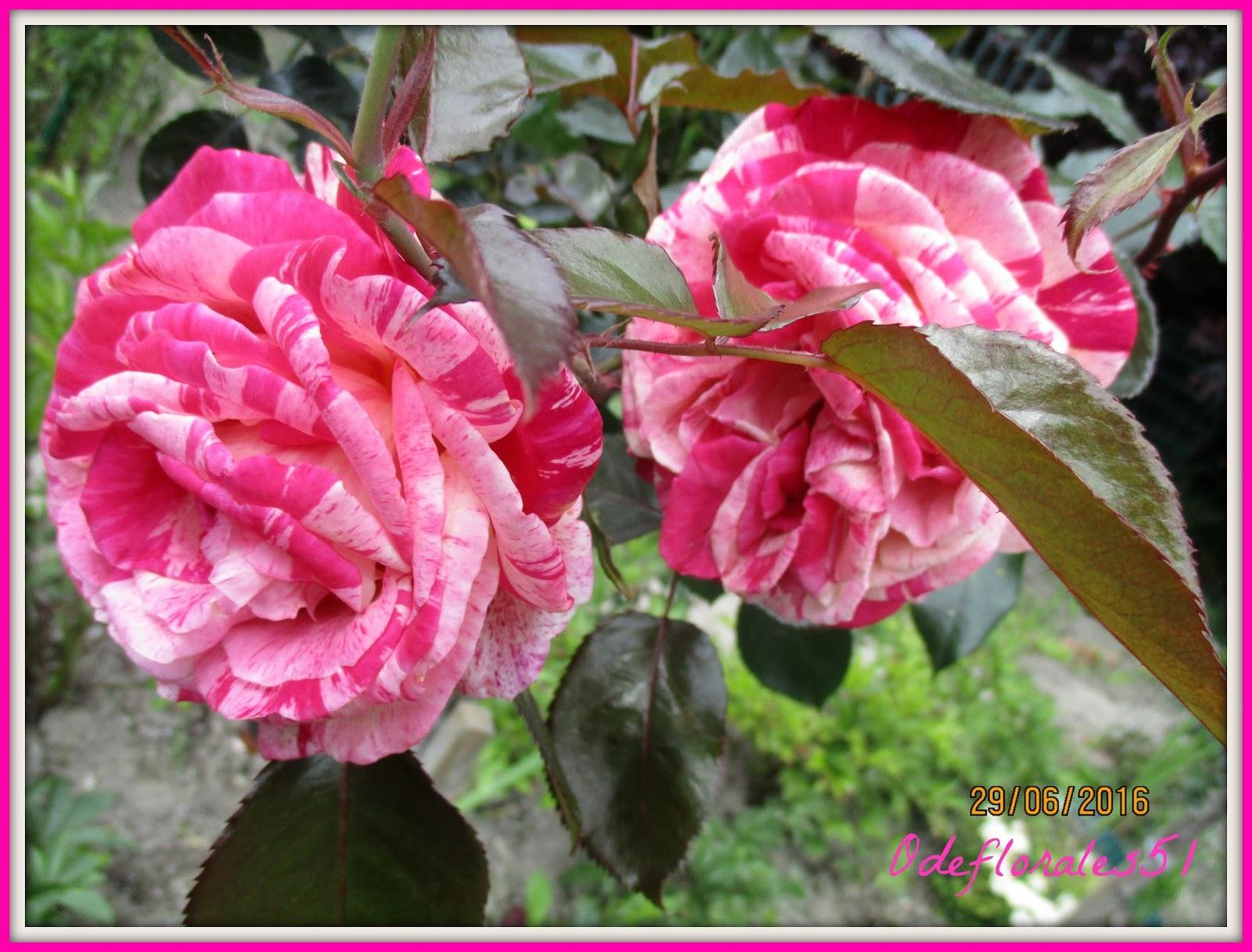 beaut s florales rosier broceliande un parfum couper le souffle. Black Bedroom Furniture Sets. Home Design Ideas