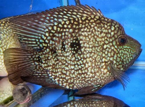 金魚快訊部落格Goldfish message blog: 金錢豹慈鯛(Herichthys carpinte)