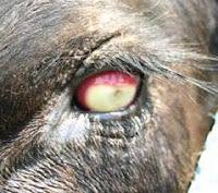 Infectious Bovine Keratoconjunctivitis