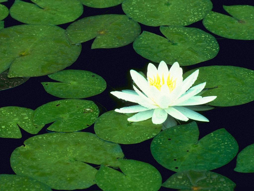 Hwfd Lotus Flower Desktop High Resolution Widescreen 1024 X 768