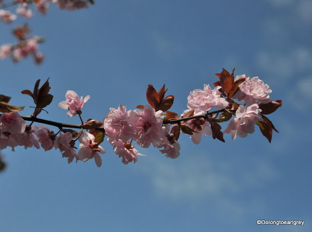 Cherry Blossoms, Spring,  Hofheim, Germany