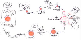 Skema biosintesis kilomikron didalam tubuh