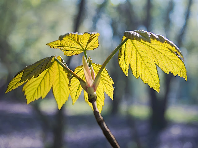 Young sycamore leave, shine yellow green backlit in the sunshine