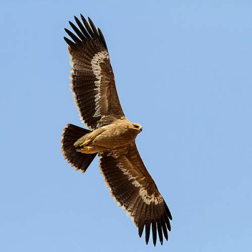 Birds of India - Image of Steppe eagle - Aquila nipalensis