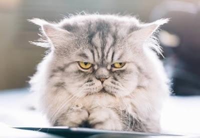 Perawatan Kucing Tiffany