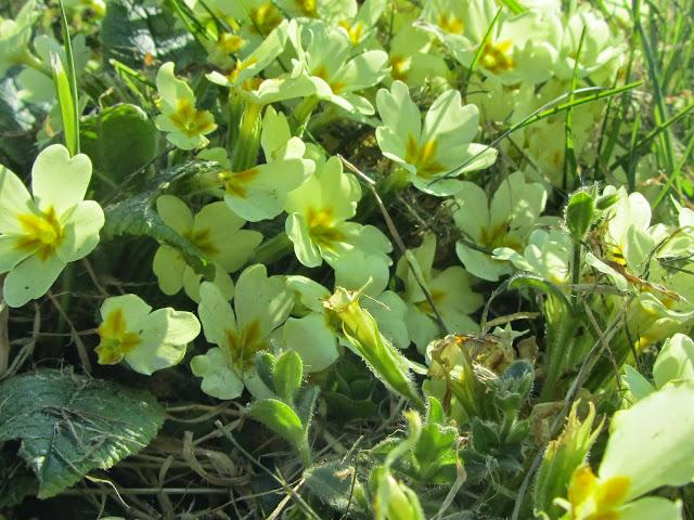 Primule gialle selvatiche