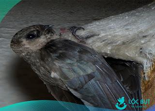 chim yến non tập bay như thế nào