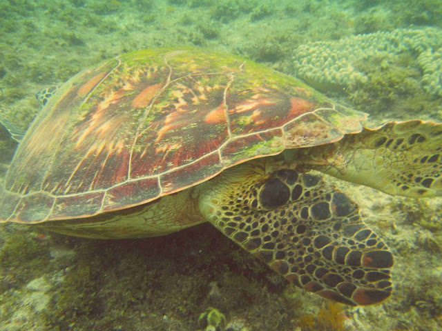 turtle apo island
