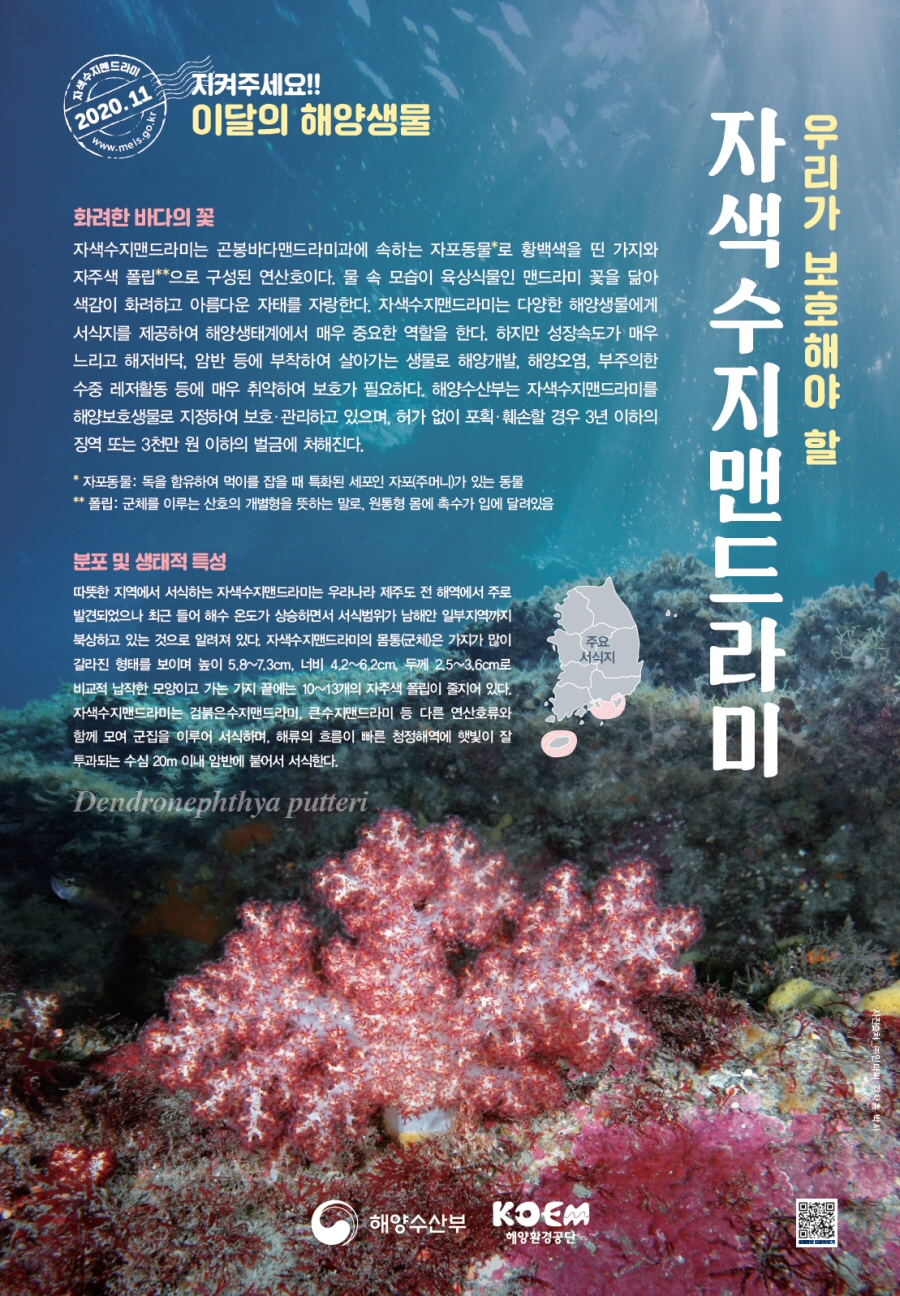해수부, 2020년 11월 이달의 해양생물 '자색수지맨드라미' 선정