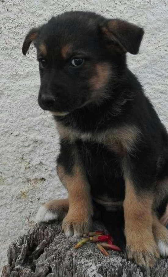 cachorra cruce pastor alemán