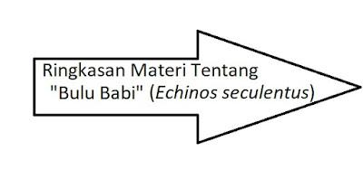 ciri-ciri bulu babi/ landak laut