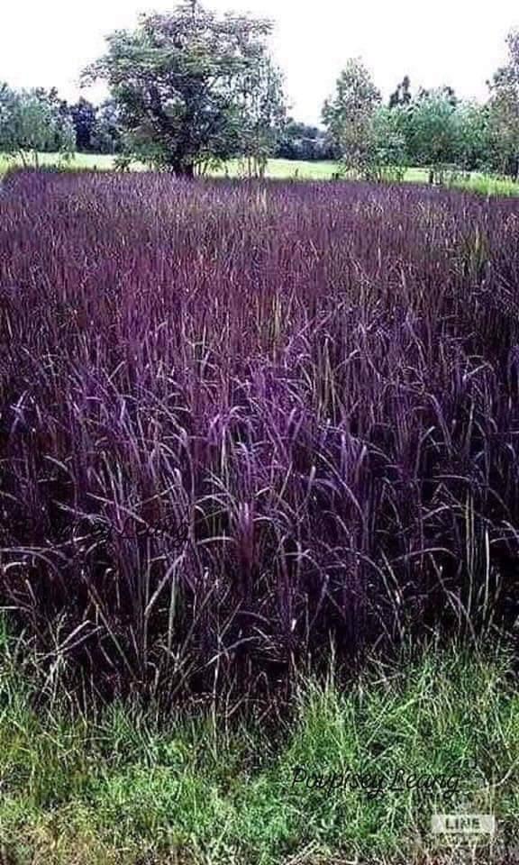 Ini rupanya pokok padi pulut hitam