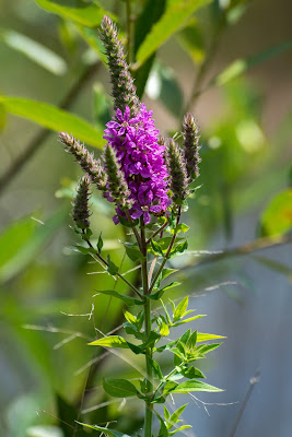 Purple Loosestrife, Indiana Dunes National Park