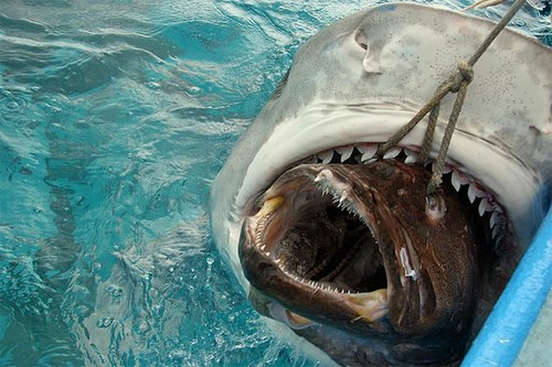 great white shark eats bait