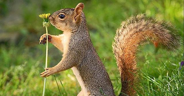 As sementes são as principais fontes de alimentação, mas também consomem insetos e frutas. Quando coletam alimento, enterram algumas sementes que encontram, sendo que algumas chegam a germinar, como pinhões e coquinhos, acabando por plantar árvores como araucária e jerivá.