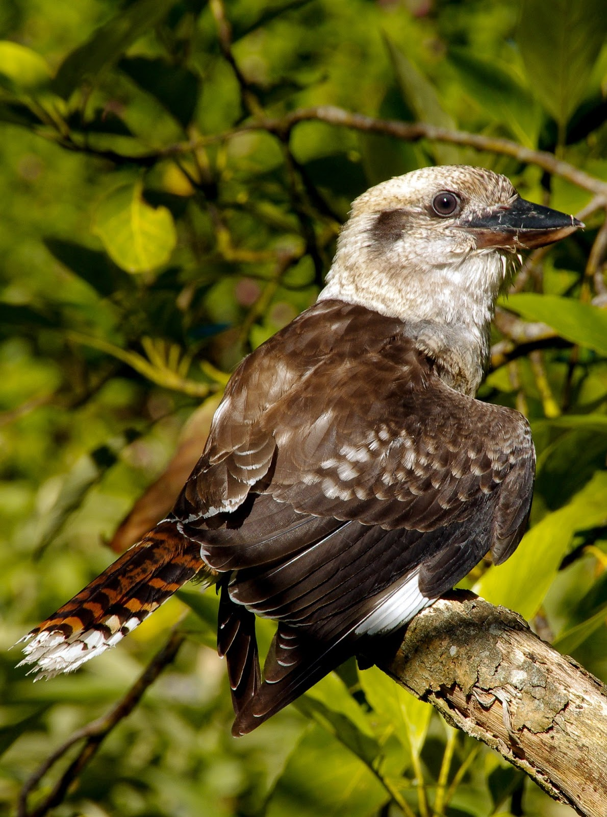 Picture of kookaburra bird in the wild.