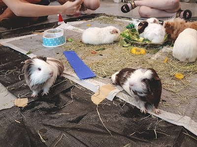 Guinea Pigs in Singapore