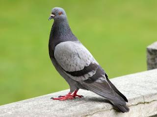 la paloma sedienta fabula