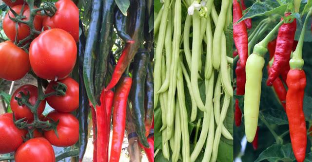 benih unggul, Benih Unggul Berkualitas, benih prima, benih cabai, benih cabe besar, benih cabai rawit, benih mentimun, benih pare, benih buncis, benih kacang panjang, benih tomat, benih terong, benih terong hijau, benih terong ungu,