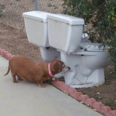 two toilets sitting in a flowerbed next to honeysuckle vines with Dixie our dacshund looking at them