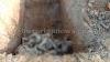 गंगा से निकले 71 शव, जांच को नमूने लेकर हुए दफ़न, पकड़े गए लाशों के साथ यूपी जा रहे लोग ..