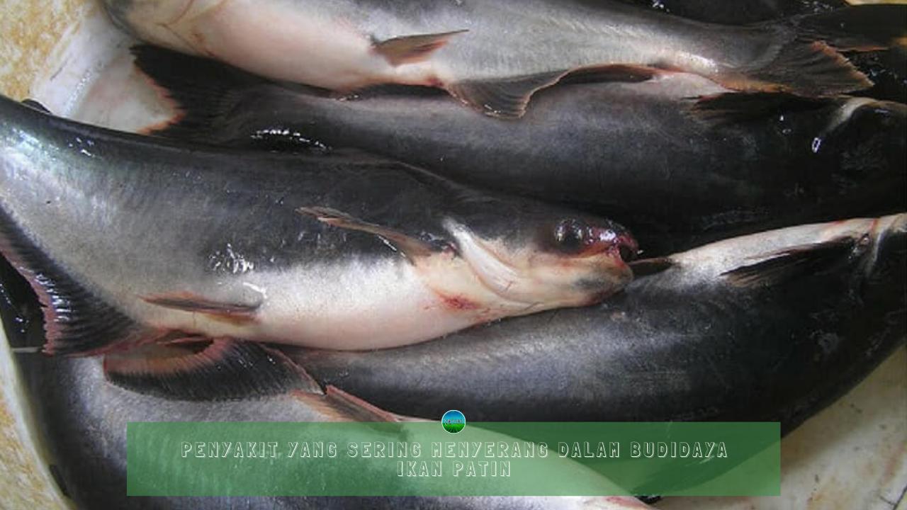 Penyakit yang Sering Menyerang Dalam Budidaya Ikan Patin