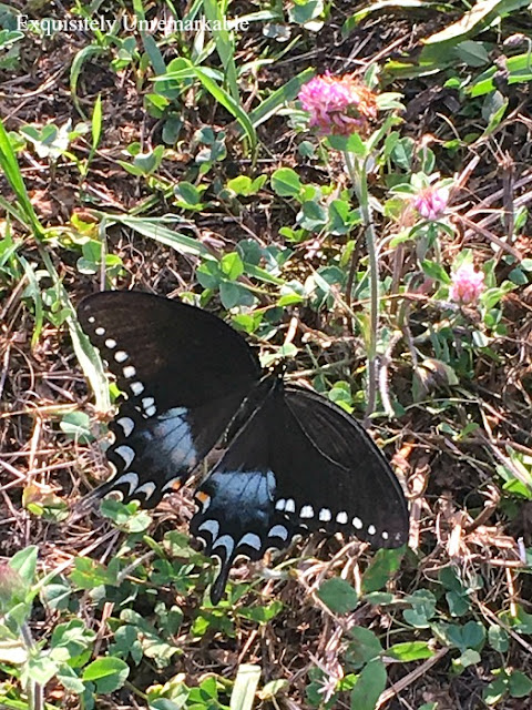Black Butterfly in the grass