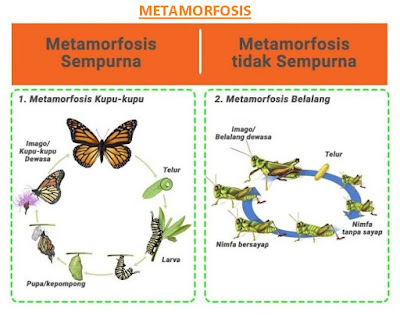 metamorfosis sempurna dan metamorfosis tidak sempurna