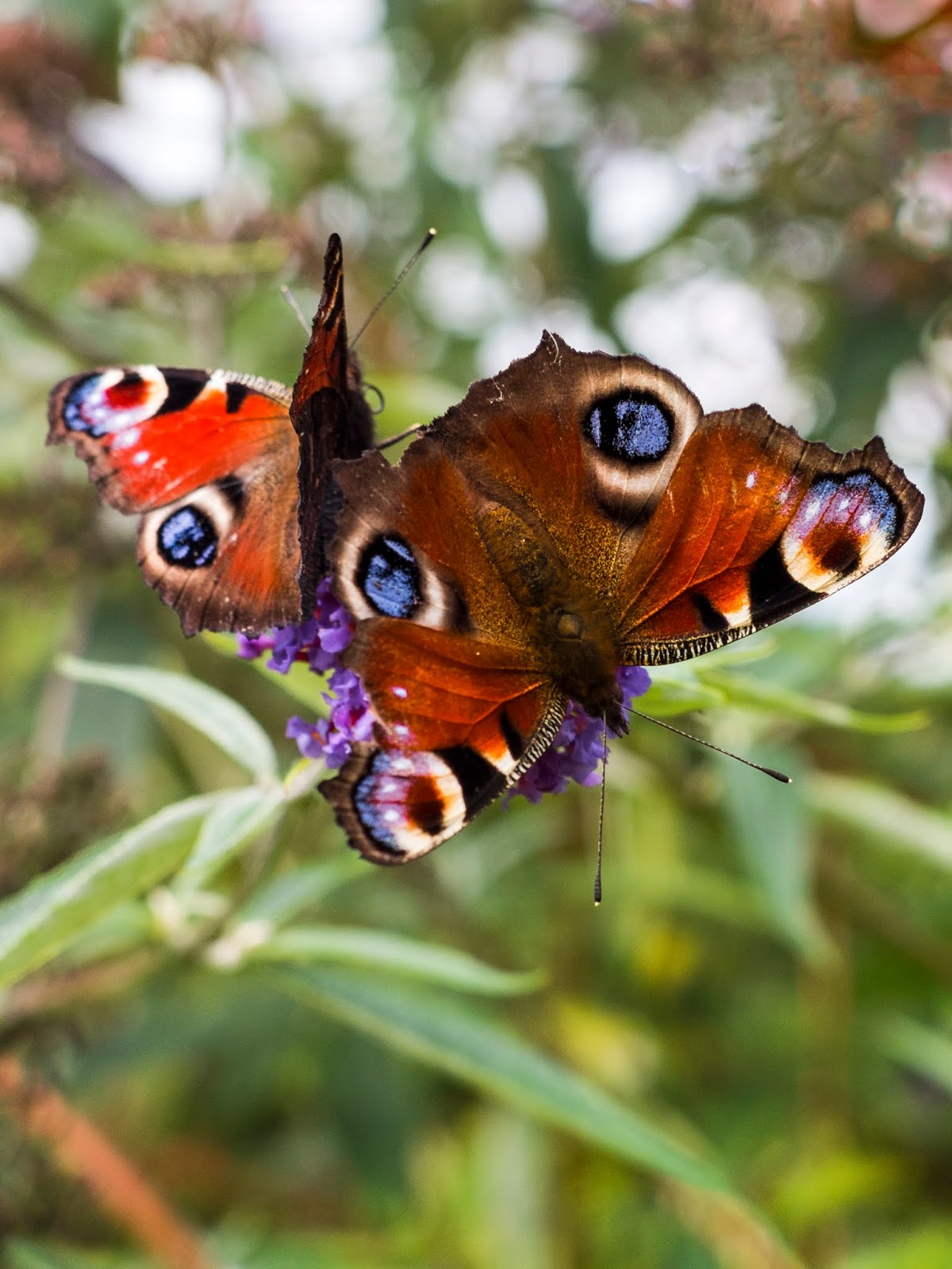 A pair of Peacock butterflies sipping nectar from purple Buddleia flowers.