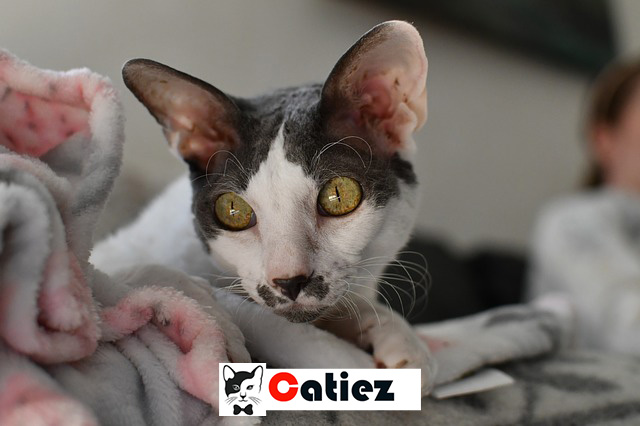 Cornish Rex cat - all you want to know about Cornish Rex cats