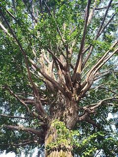 教学院の中の木