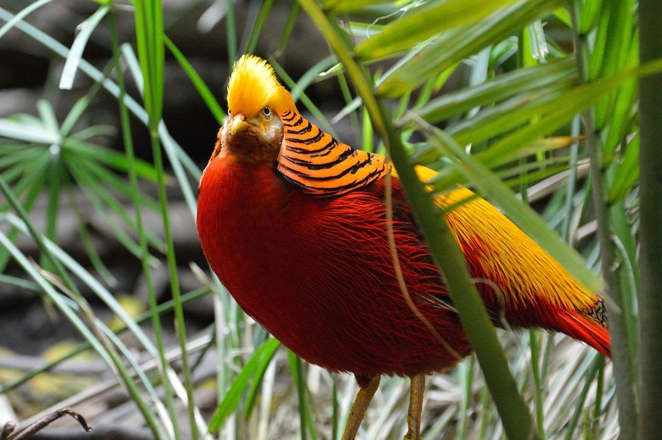 गोल्डन फेजेंट पक्षी के बारे में रोचक तथ्य - Interesting Facts about Golden Pheasant in Hindi