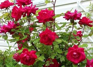 cara merawat bunga mawar agar tidak layu,cara merawat bunga mawar agar cepat berbunga,cara merawat bunga mawar yang sudah dipetik,cara merawat bunga mawar dalam vas,