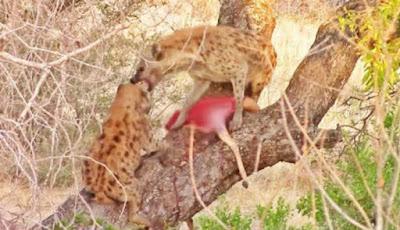 Hyena curi makanan macan tutul