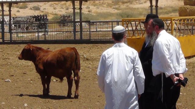 Resultado de imagem para bezerro judeu para sacrifício