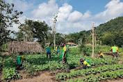 Bangun Ketahanan Pangan di Perbatasan, Satgas Yonarmed 6 Kostrad Manfaatkan Lahan Perkebunan