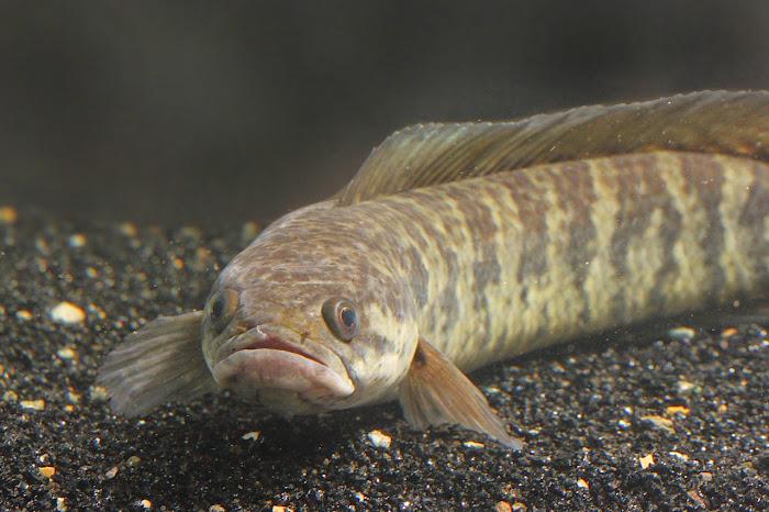 Kandungan Gizi Ikan Gabus