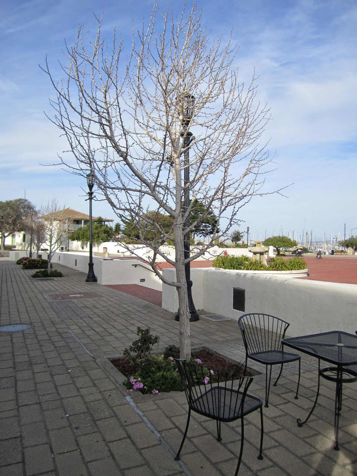 A Hibernating Tree, Custom House Plaza, Monterey State Historic Park (March 2013)
