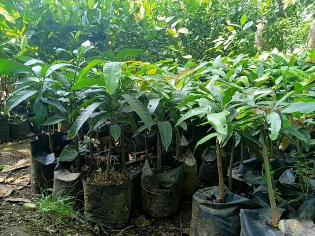 Ready! bibit mangga alpukat bibit tanaman buah buahan bibit buah benih buah buahan bibit pohon buah buahan Kota Jakarta #Jual bibit buah