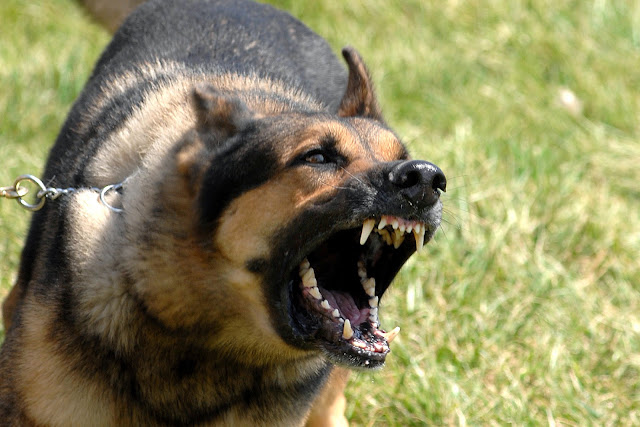 Angry German shepherd