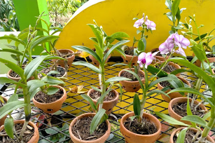 Anggrek (Orchidaceae)