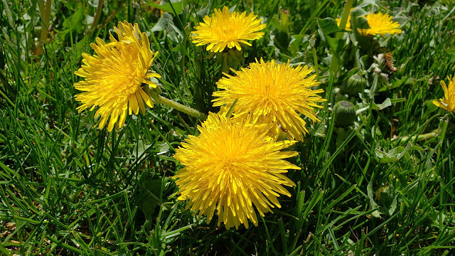 The skin care benefits of dandelion, how to use dandelion in DIY skin care recipes, plus a dandelion oil recipe. By Angela Palmer at Farm Girl Soap Co. Learn to make your own herbal skin care.