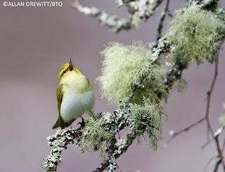 Wood Warbler by Allan Drewitt