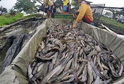 cara penternakan ikan keli,penternakan ikan keli dalam kanvas,cara bela ikan keli dalam tangki,ternakan ikan keli organik,ternakan ikan dalam kanvas,panduan ternakan ikan keli dalam tangki,