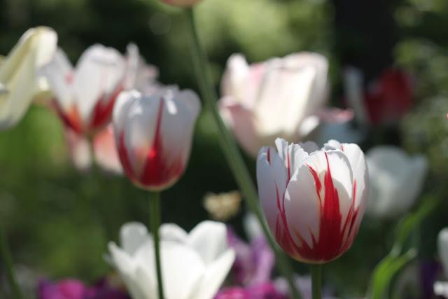 tulppaani kukkii