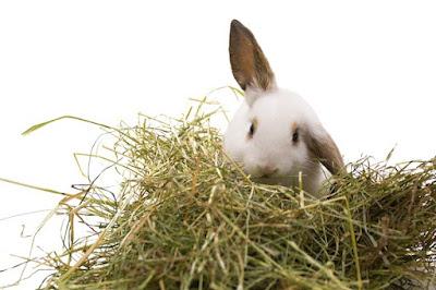 makanan kelinci terbaik